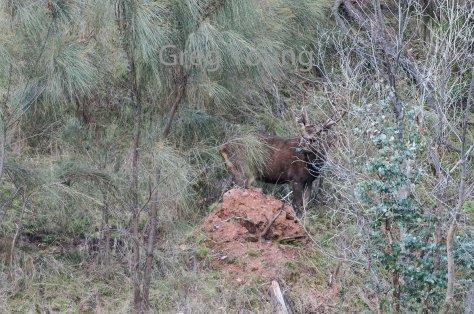 moroka-2016-deer-2