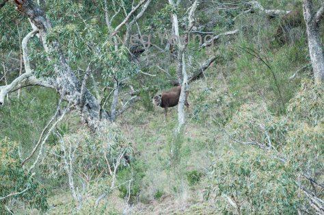 moroka-2016-deer-5