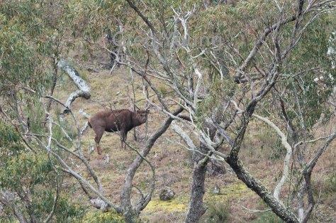moroka-2016-deer-6